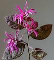 (MHNT) Loropetalum chinense f. rubrum - Flowers and leaves.jpg