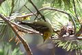 ?? Hermit or Olive Warbler - Rustler Park - Cave Creek - AZ - 2015-08-16at10-36-0414 (21625959242).jpg