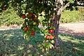 Äpfel bereit zur Ernte.jpg