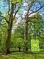 Багатовікові дуби міського саду 1.jpg