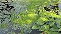 Водна рослинність. Запорізьке Придніпров'я.jpg