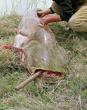 Wels catfish - Silurus glanis. Syr Darya River in Kazakhstan, Baikonur area.