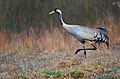 Журавель сірий (Grus grus) на болоті.jpg