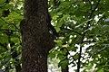 Курортний парк Нахабна чорна вивірка перша DSC 0183.jpg