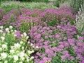 Монарда двійчаста (Monarda didyma L.) у ботанічному саду ЖНАЕУ.jpg