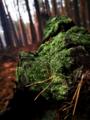 Мох на поваленому дереві восени у лісі на Черкащині.png