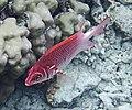 Рыба-белка (Sargocentron spiniferum). Лучепёрые рыбы (Actinopterygii) .DSCF2032ОВ.jpg