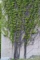 Сцяна, зацягнутая раслінай, Мінскі батанічны сад.jpg