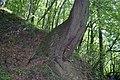 Цікаве дерево - panoramio.jpg