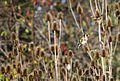Черноголовый щегол (Обыкновенный щегол) - Carduelis carduelis - European goldfinch - Кадънка - Stieglitz (30756755295).jpg