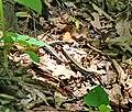 Я́щірка вірме́нська (Darevskia armeniaca) за сніданком в Житомирській області.jpg