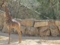 ג'ירף דרום אפריקני Giraffa giraffa giraffa.webp