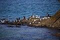 مرغ نوروزی یا یاعو از خانواده کاکائیان Gull 03.jpg