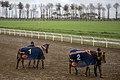 مسابقات اسب دوانی گنبد کاووس Horse racing In Iran- Gonbad-e Kavus 21.jpg