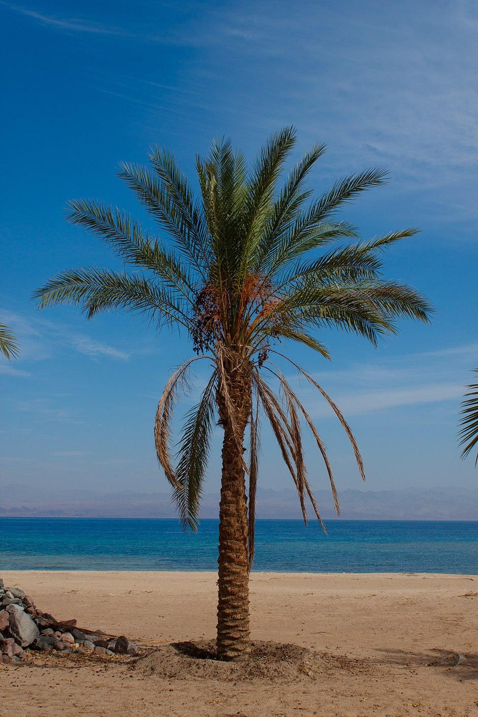 نخلة على الشاطىء الرملى