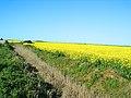 کشاورزی دانه های روغنی در شمال - panoramio.jpg