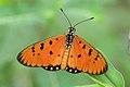 செவ்வந்திச்சிறகன் - Tawny Coster - Acraea terpsicore.jpg