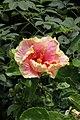 ชบา Hibiscus rosa-sinensis L. Photographs by Peak Hora (17).jpg