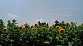ひまわり畑 - panoramio.jpg