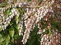 アセビ(馬酔木)の花 Japanese andromeda 2013.3.17 - panoramio.jpg