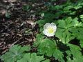 ニリンソウ(二輪草)(Anemone flaccida) (7112248249).jpg