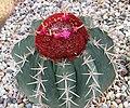 仙人掌-彩雲 Melocactus intortus -新加坡濱海灣花園 Gardens by the Bay, Singapore- (24529242269).jpg