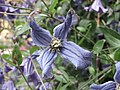 全緣鐵線蓮 Clematis integrifolia -牛津大學植物園 Oxford Botanic Garden- (9200878030).jpg