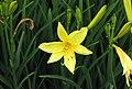 北黃花菜 Hemerocallis lilioasphodelus -比利時 Leuven Botanical Garden, Belgium- (9213309477).jpg