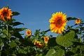 单寨村种植的向日葵——2012-08-22 - panoramio.jpg