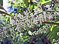 單穗山柳(單穗榿葉樹) Clethra monostachya -英格蘭 Wisley Gardens, England- (9227079399).jpg