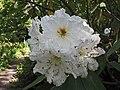 大型杜鵑 Rhododendron Argosy -英格蘭 Wisley Gardens, England- (9227007055).jpg
