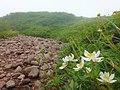 姥石平のハクサンイチゲ2.jpg