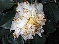 山茶花-重瓣銀蓮花型 Camellia japonica Double - Anemone Form -香港動植物公園 Hong Kong Botanical Garden- (14464085982).jpg