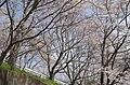 東片添町の桜 Cherry trees in Higashi-Katasoe-chō 2014.4.01 - panoramio (2).jpg