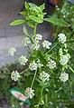 歐芹 Petroselinum crispum -香港動植物公園 Hong Kong Botanical Garden- (9198150839).jpg