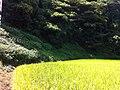 氷見の海岸道路沿いの田んぼ(Rice field along the shore road of Himi) - panoramio (4).jpg