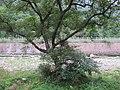 河床上的大树 - panoramio.jpg
