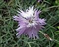 石竹屬 Dianthus plumarius v neilreichii -維也納高山植物園 Belvedere Alpine Garden, Vienna- (28975771200).jpg