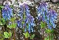 穆坪紫堇 Corydalis flexuosa 'Purple Leaf' -波蘭 Krakow Jagiellonian University Botanic Garden, Poland- (35924537633).jpg