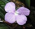 苦山柰 Kaempferia marginata -檳城香料園 Tropical Spice Garden, Penang- (9198166483).jpg
