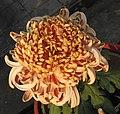 菊花-粉胡之影 Chrysanthemum morifolium 'Shadow' -中山小欖菊花會 Xiaolan Chrysanthemum Show, China- (12026692274).jpg