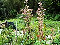 落地生根 Bryophyllum pinnatum - panoramio.jpg