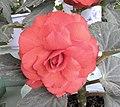 金正日花 Begonia tuberhybrida KIMJONGILHWA -瀋陽世博園 Shenyang Expo Gardens, China- (9207641854).jpg