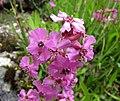 雲南剪秋羅 Lychnis yunnanensis -比利時 Ghent University Botanical Garden, Belgium- (9190649789).jpg
