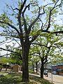 진안이팝나무 2.jpg