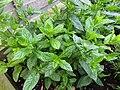 -2019-07-21 Mint (Mentha spicata), Trimingham.JPG