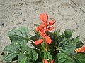 0998Ornamental plants in the Philippines 40.jpg
