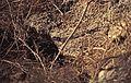 102Zypern Acheleia Eidechse (14062231161).jpg