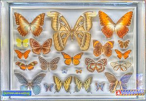 "Creation Museum - A collection of butterflies and moths is an example of real specimens on display, as opposed to the animatronic ""Dr. Crawley"" character that accompanies the butterfly display."