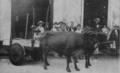 1899 Marianao oxcart Havana Cuba by Olivares.png